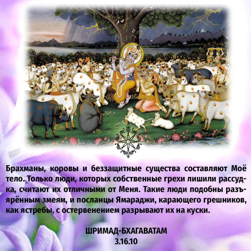 Брахманы, коровы и беззащитные существа составляют Моё тело. Только люди, которых собственные грехи лишили рассудка, считают их отличными от Меня. Такие люди подобны разъярённым змеям, и посланцы Ямараджи, карающего грешников, как ястребы, с остервенением разрывают их на куски.