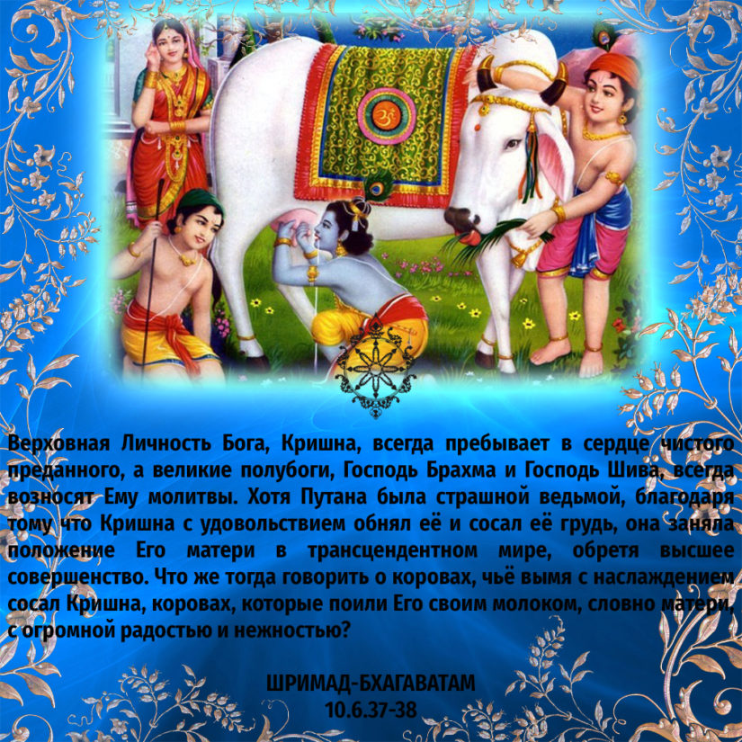 Верховная Личность Бога, Кришна, всегда пребывает в сердце чистого преданного, а великие полубоги, Господь Брахма и Господь Шива, всегда возносят Ему молитвы. Хотя Путана была страшной ведьмой, благодаря тому что Кришна с удовольствием обнял её и сосал её грудь, она заняла положение Его матери в трансцендентном мире, обретя высшее совершенство. Что же тогда говорить о коровах, чьё вымя с наслаждением сосал Кришна, коровах, которые поили Его своим молоком, словно матери, с огромной радостью и нежностью?
